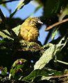 Chlorothraupis stolzmanni -NW Ecuador-8.jpg
