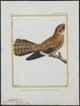 Chordeiles brasiliensis - 1700-1880 - Print - Iconographia Zoologica - Special Collections University of Amsterdam - UBA01 IZ16700071.tif