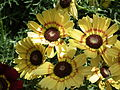 Chrysanthemum from Lalbagh flower show Aug 2013 8339.JPG