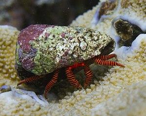 Diogenidae - Image: Ciliopagurus strigatus Réunion
