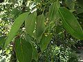 Cinnamomum glanduliferum.jpg