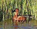 Cinnamon teal at Seedskadee National Wildlife Refuge (41982352552).jpg