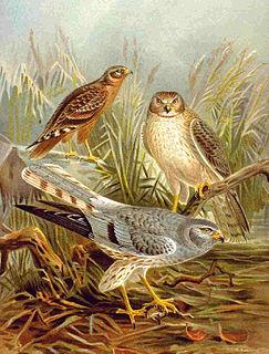 Harrier (bird) subfamily of birds of prey