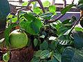 Citrus maxima (DITSL).JPG