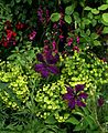 Clematis on Euphorbia - Flickr - peganum.jpg