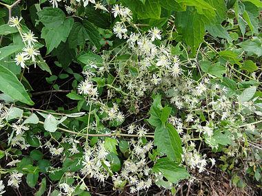 Clematis virginiana SCA-03933.jpg