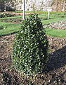 Clipped Buxus plant.JPG