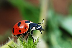 definition of coccinellidae
