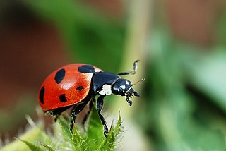 Coccinellidae family of insects
