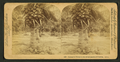 Cocoanut (coconut) trees in the white sands of Florida, U.S.A, from Robert N. Dennis collection of stereoscopic views 4.png