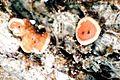 Coenogonium luteum-2.jpg