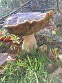 Cogumelos do Geres (23177420232).jpg