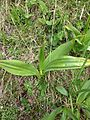 Colchicum autumnale seedpod 01.jpg