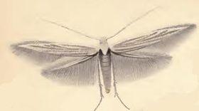 Coleophora gnaphalii.JPG