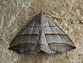 Colobochyla salicalis - Lesser Belle - Совка ивовая (39063726260).jpg