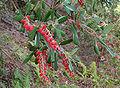 Comarostaphylisdiversifolia.jpg