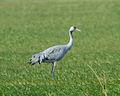 Common Crane (Grus grus) (8520156897).jpg