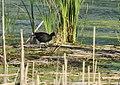 Common Gallinule (34872527702).jpg