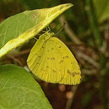 Common Grass Yellow at Dhakuria Lake.jpg