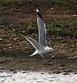 Common Gull 1 (8553731027).jpg