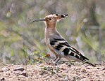 Common Hoopoe (Upapa epops) preening at Kolkata I2 IMG 6985.jpg