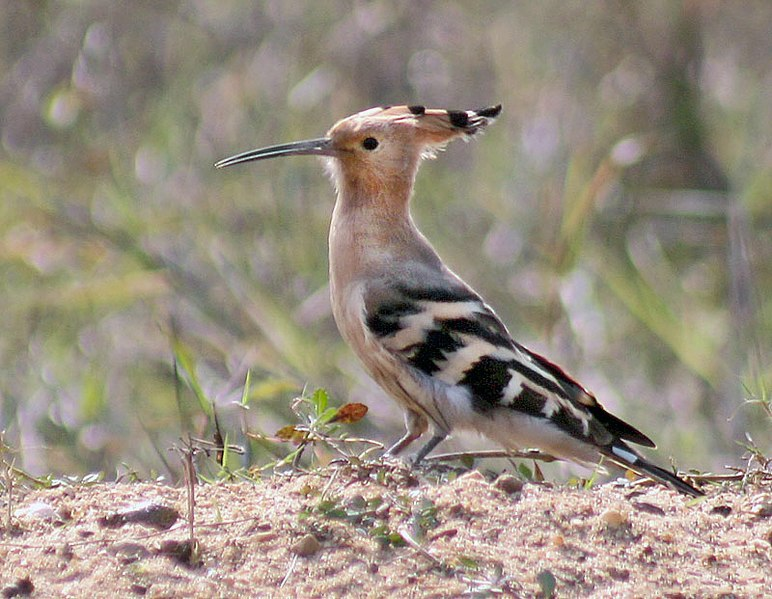 चित्र:Common Hoopoe (Upapa epops) preening at Kolkata I2 IMG 6985.jpg