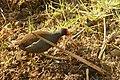 Common Moorhen (Gallinula chloropus) (26138886081).jpg