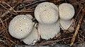 Common Puffball (Lycoperdon perlatum) - La Pêche, Québec 2016-09-20 (03).jpg