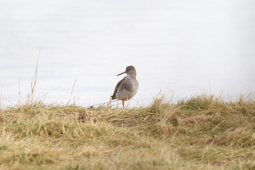 Common Redshank Standing