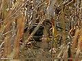 Common Snipe (Gallinago gallinago) (22413380912).jpg