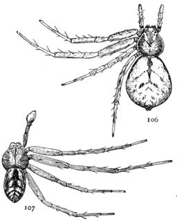 <i>Philodromus imbecillus</i> species of arachnid