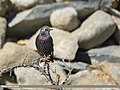 Common Starling (Sturnus vulgaris) (46199127502).jpg