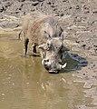 Common Warthog (Phacochoerus africanus) male drinking ... (32195246382).jpg