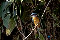 Common kingfisher (Alcedo atthis) in Nepal (102).jpg