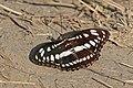 Common sergeant (Athyma perius perius) Bardiya.jpg