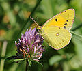 ComputerHotline - Colias croceus (by) (1).jpg