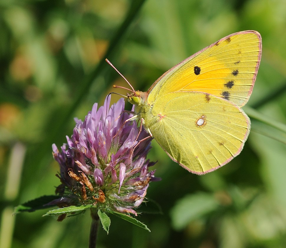 ComputerHotline - Colias croceus (by) (1)
