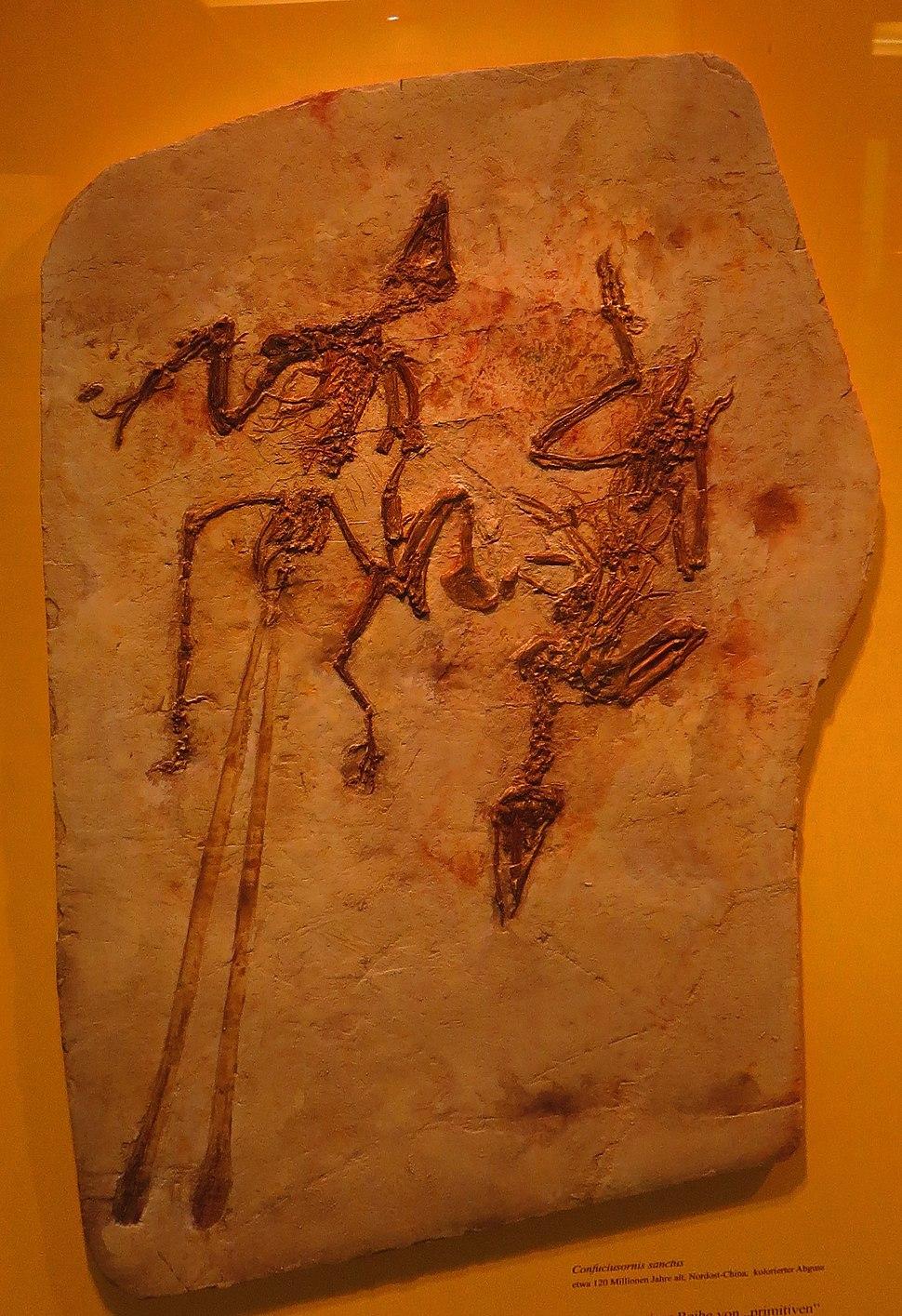 Confuciusornis sanctus 3784