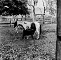 Confused young calf mistakes a mare for it's mother (6873811524).jpg