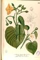 Convolvulaceae spp Blanco2.261-original.png