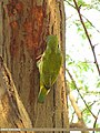 Coppersmith Barbet (Megalaima haemacephala) (15706922038).jpg