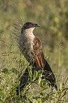 Coppery-tailed coucal (Centropus cupreicaudus).jpg
