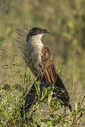 Coppery-tailed coucal (Centropus cupreicaudus).jpg