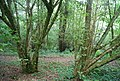 Coppiced trees, Toll Wood - geograph.org.uk - 1493907.jpg