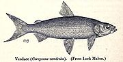 The vendace (Coregonus vandesius) is England's rarest species of fish, and is only found in the Lake District.