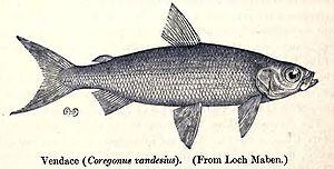 Coregonus vandesius - Image: Coregonus Vandesius