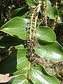 Coriaria arborea.jpg