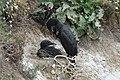 Cormorant nest (34764505960).jpg