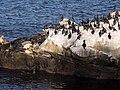Cormorants and California sea lions in La Jolla (70598).jpg