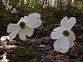 Cornus florida - Dogwood 2.jpg